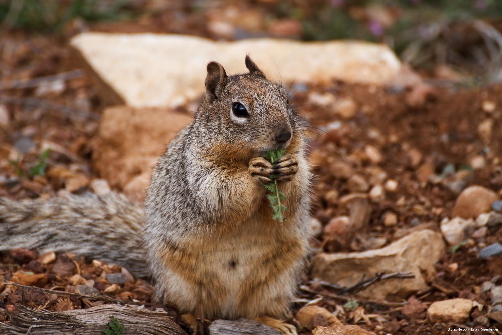 Eichhörnchen, USA